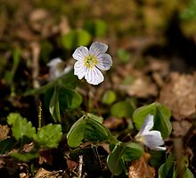 Wood Sorrel by Sue Robinson