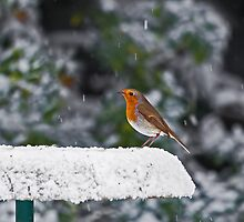 Robin on Snowy Feeder by Sue Robinson