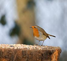 Robin on seed table by Sue Robinson