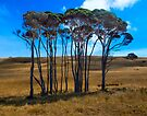 Gummy Trees on Tasmania North Shore by Yukondick