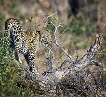 Early Morning Branch Climbing by Michael  Moss
