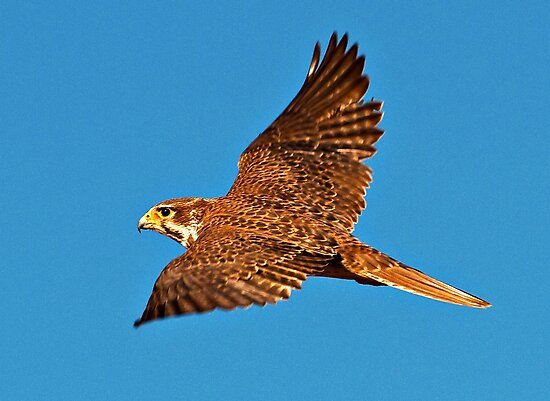 Prairie Falcon by Marvin Collins