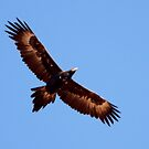 Wedge-tailed Eagle ~ Soar High Fly Free by Robert Elliott