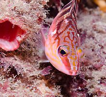 Hawkfish next to tunnel, Nelson Bay, Australia by Emma M Birdsey