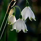 Leucojum vernum by cclaude