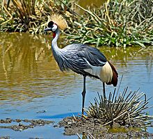 Gray Crowned Crane in Ngorongoro Crater by Konstantinos Arvanitopoulos
