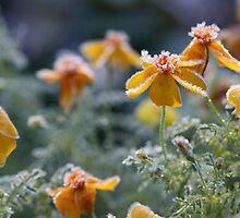 Marigolds by decorartuk