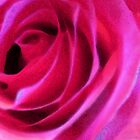 Pink Rose Art - Soft Folds by Sharon Cummings