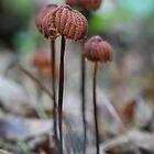 Orange Pinwheel (Marasmius siccus) by mfortune