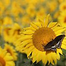 Swallowtail on a Sunflower by Lori Deiter