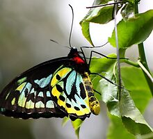 Cairns Birdwing Butterfly by Vanessa Barklay