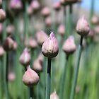 Lilac Bud by Hunniebee