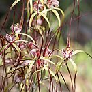 Wild Orchids of South-west Australia by Leonie Mac Lean