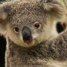 Australia Zoo - Young Koala   by Sea-Change