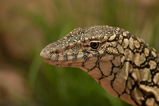 Australia Zoo - Lace Monitor  by Sea-Change