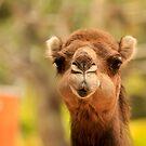 Australia Zoo - Camel by Sea-Change