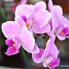 Pink Orchid by Annie Altherr