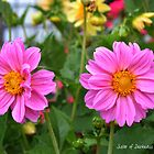 Pink Dahlias  by Darkness666
