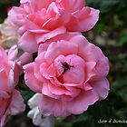 Pink Roses with Bee by Annie Altherr