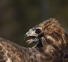 Red-tailed Hawk by Jean Martin
