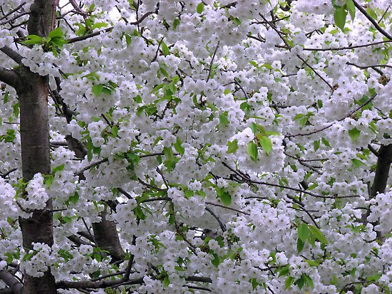 White Tree Blossoms by BlueMoonRose