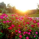 Sunshine and roses by rbs247