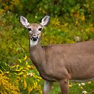 White Tail Early Autumn by Karol Livote