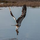 Osprey Hasting Point Northern NSW by Ron Finkel