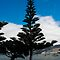 Norfolk Island Pine at Akoroa by Yukondick
