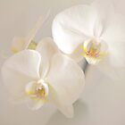 orchids by JOSEPHMAZZUCCO