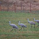 The Cranes Go Walking by Kim Barton