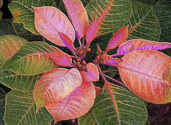 Rosie Pink Poinsettia by Rosalie Scanlon