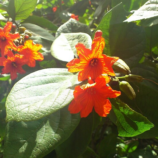 Orange Flowers by tropicalsamuelv