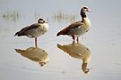 Egyptian Geese Reflections by Carole-Anne