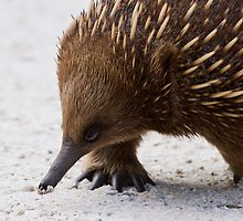 Echidna profile by Will Hore-Lacy