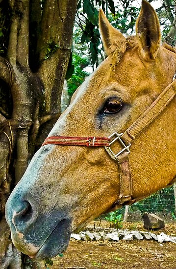 Horse In Mexico Up Close by mamasita