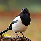 European Magpie by Margaret S Sweeny