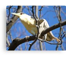 Please help this black crown night heron Canvas Print