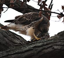 Redtail Hawk Feeding by Thomas Mckibben