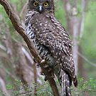 Powerful Owl .Ninox strenua by Donovan wilson
