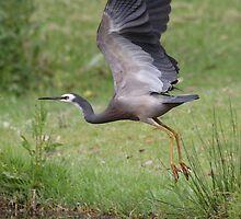 Heron Lift-off by Phillip Weyers