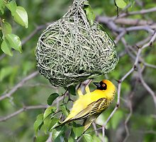 Spottedbacked weaver bird by jozi1