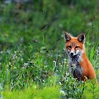 Cute Red Fox by Caren della Cioppa