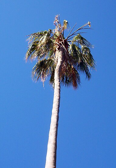 Palm Tree - 14 11 12 by Robert Phillips