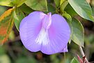 Spurred Butterfly Pea by ©Dawne M. Dunton