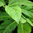 Rain Drops On Leaves by LilCreativeSpce