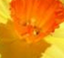 Yellow and Orange Colored Daffodil Close Up Sticker