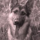 German Shepherd Puppy in Sepia by elainejhillson