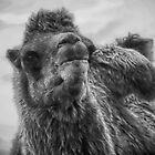 Camel  by Paul  jenkinson