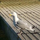 Seagull on pontoon, Salcombe, Devon, UK by silverportpics